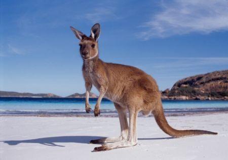 viaggio-nozze-australia-canguro
